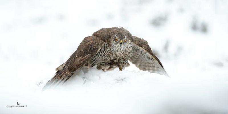 Havik mantelend in de sneeuw